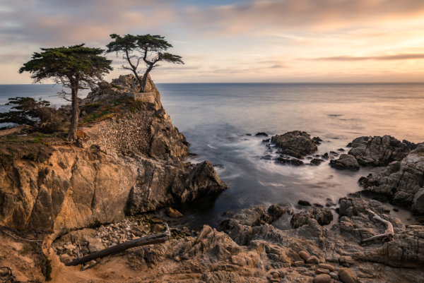 Coastal cypress tree