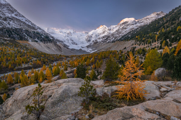 Larch Tree in Autumn in Front of Snowy Mountains